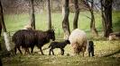 az idei fekete bárányok....és egy tarka-barka nyalka falka..._1