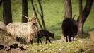 az idei fekete bárányok....és egy tarka-barka nyalka falka..._2