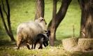 az idei fekete bárányok....és egy tarka-barka nyalka falka..._3