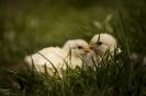 sugdosnak a ma tojt csibék_1
